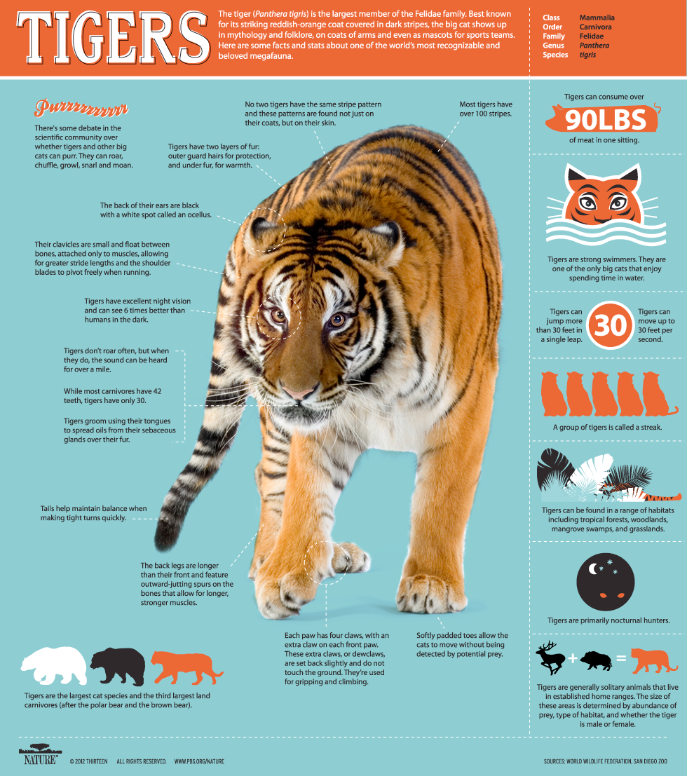 tiger infographic 1