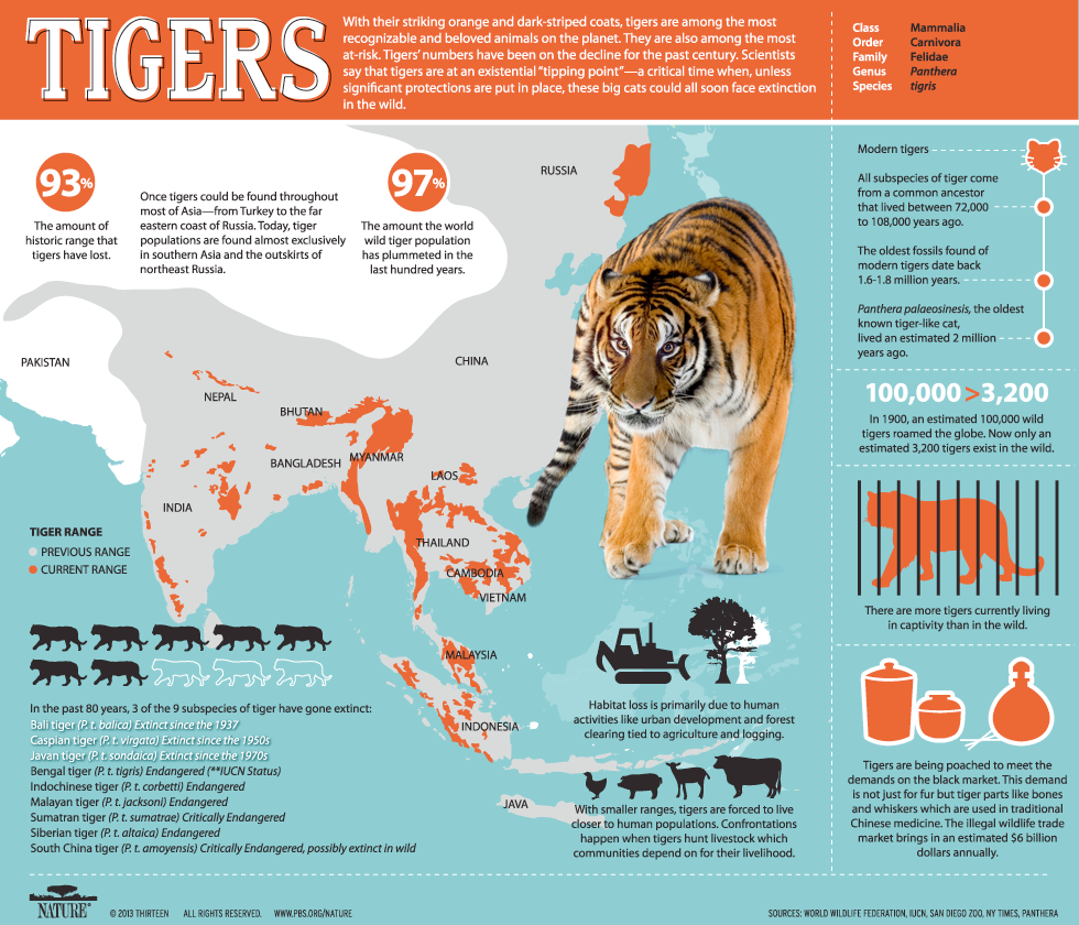 tiger infographic 2